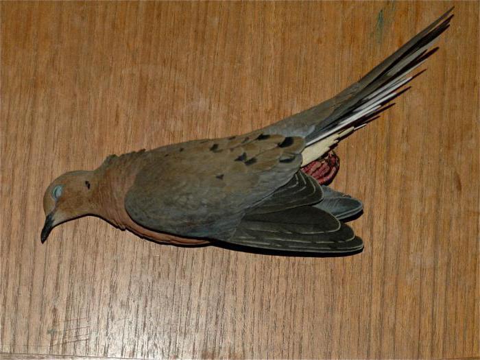 Мертвая птица на балконе к чему это